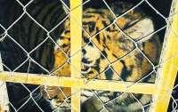 В Киеве жестоко поиздевались над тиграми