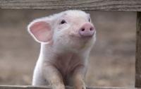 В Японию привезли мясо, зараженное АЧС