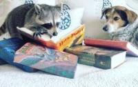 Сеть растрогала дружба собаки с енотом (фото)