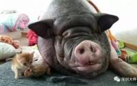 Китайская семья шесть раз переезжала из-за своей храпящей свиньи