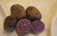 Ученые из Екатеринбурга вырастили картофелесвеклу