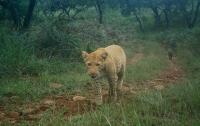 Редкого розового леопарда засняли на скрытую камеру