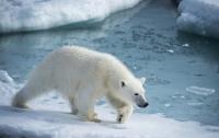 Умер как герой: канадец спас детей от белого медведя и погиб