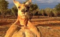 Умер самый известный в мире кенгуру