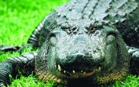 Американец думал, что на лужайке орудует вор, а оказался крокодил