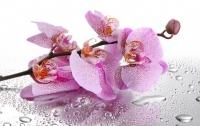 Ученые нашли новый вид орхидеи с запахом шампанского