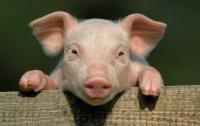 Украинская свинина скоро может исчезнуть
