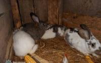 Пятеро школьников в Ривненской области похищали у сельских жителей кроликов