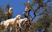 В Кропивницком ученики пожаловались на коз, которые мешают им учиться