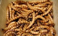 В Австралии изобрели аппарат для разведения съедобных личинок мух