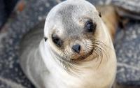 Ушастого тюленя застукали за кражей рыбы с причала