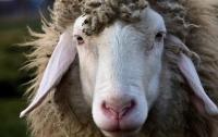 Азербайджанец за рулем Audi насмерть сбил 57 овец
