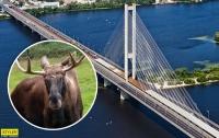 На мосту Киева в ДТП погиб лось (видео)