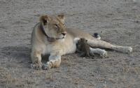В Танзании львица