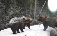 Медведей на Закарпатье учат спать зимой