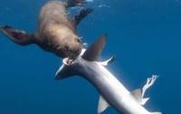 Разрыв пищевой цепочки: тюлень «задрал» акулу (ФОТО)