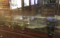 Крокодила, которого держали в витрине, выставили на продажу