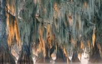 В США обнаружили дерево возрастом 2600 лет
