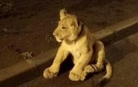 В Одессе посреди улицы разгуливал маленький львенок (видео)