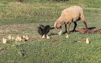 Отважная курица защитила свое потомство от нападок агрессивной овцы (видео)