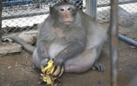 Погоня за обезьяной довела туриста до паралича и комы