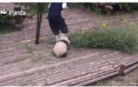 Маленькая и очень любвеобильная панда