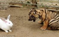 Маленький кролик выжил в клетке с тиграми и леопардами (ФОТО)