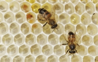 Американец погиб после нападения пчел