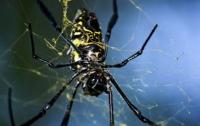 Вырастить новую кожу людям помогут пауки