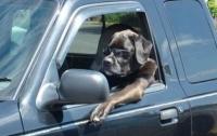 Собаки за рулем становятся похожи на хозяев (фото)