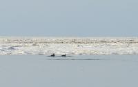 На Казантипе МЧС спасло от замерзания 20 дельфинов