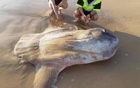 На побережье Австралии нашли огромную солнечную рыбу