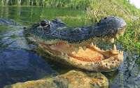 Огромный аллигатор напал на охотника