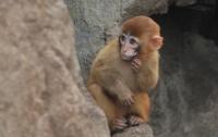 Беспризорная агрессивная обезьяна терроризирует село