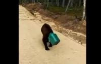 В Якутии потерялся медведь с канистрой (ВИДЕО)