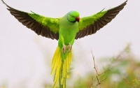 В Индии попугаи-наркоманы бесшумно опустошают опиумные поля