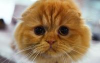 Американские ученые прекратят научные эксперименты над кошками