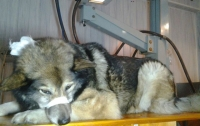 Раненая собака сама пришла за помощью в столичный больничный травмпункт