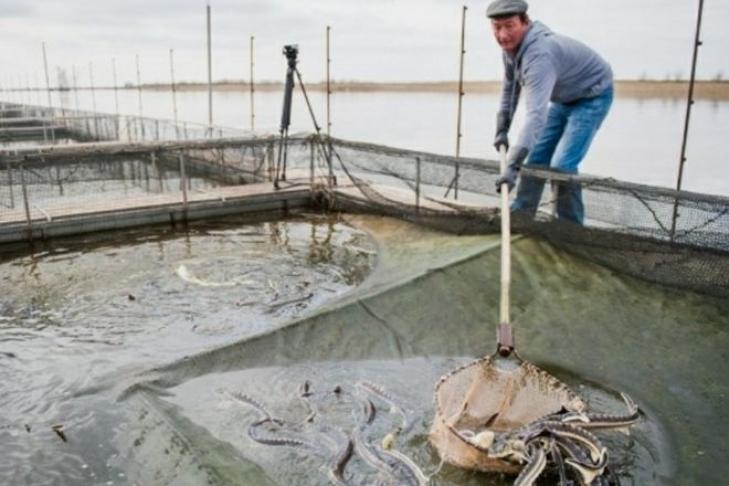 Украинцам дадут денежных средств наразведение рыбы