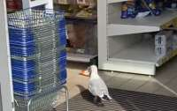 Умная чайка научилась питаться за счет супермаркета