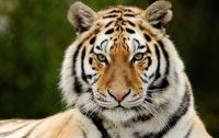 Тигру-инвалиду сделают протез взамен потерянной из-за браконьера лапы
