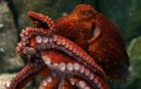 Ученые открыли новый вид гигантских осьминогов