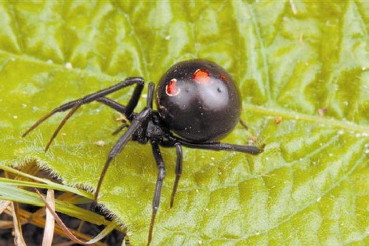 Ядовитые пауки херсонской области