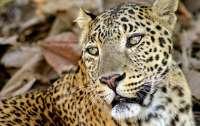 Леопард-людоед посеял панику в деревне