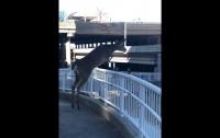 Наводнение спасло жизнь совершившему олимпийский прыжок оленю