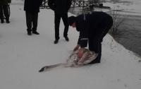 В Хмельницкой области спасли лебедей с покрытого льдом водоема