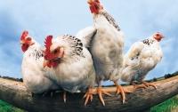 Кувейт снял запрет на ввоз курятины и яиц из Украины