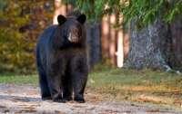Медведь залез в детский бассейн чтобы поспать и освежиться