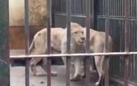 Истощенный лев без хвоста ужаснул посетителей зоопарка