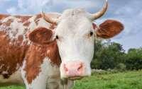 В одной из республик Северного Кавказа открылась штрафстоянка для коров
